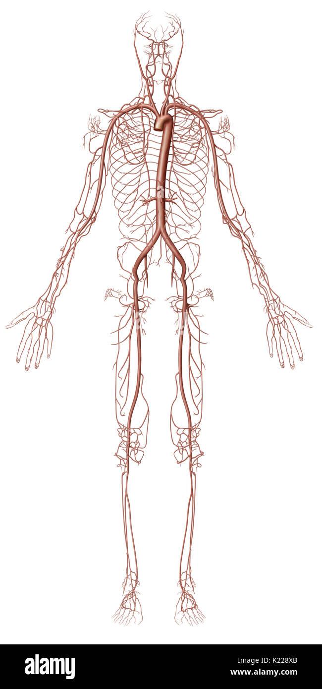 Pulmonary Arteries Stock Photos & Pulmonary Arteries Stock Images ...