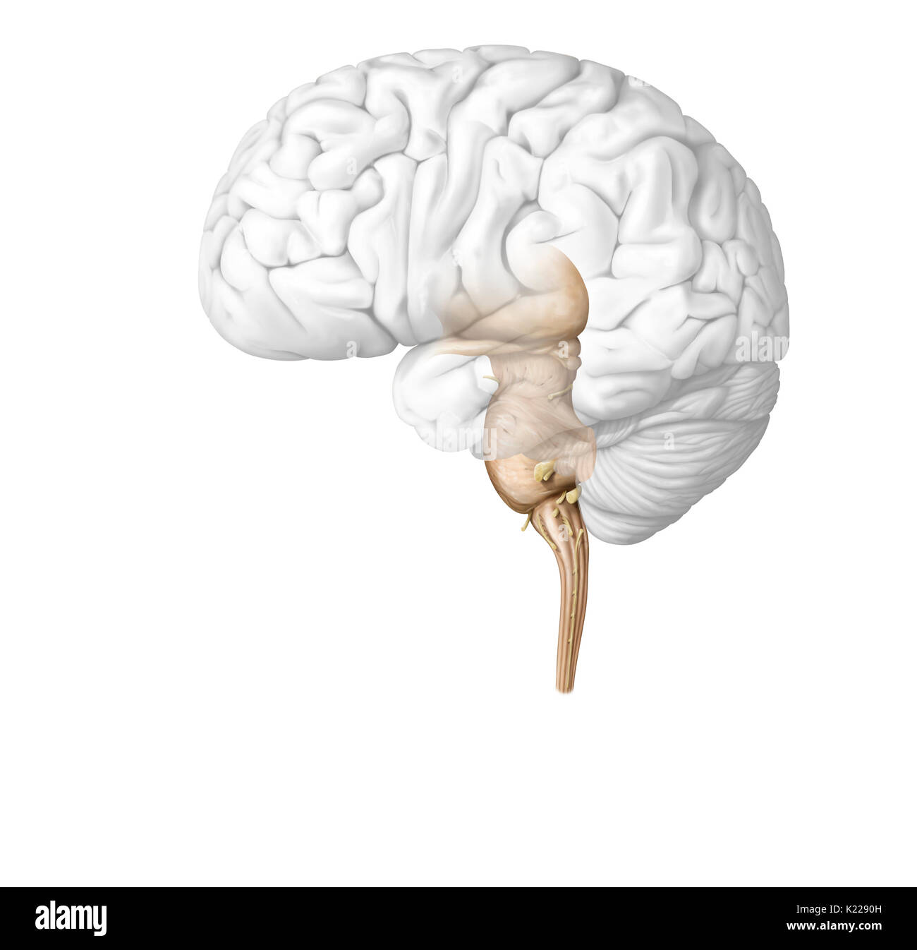 The spinal cord is formed by a cord of nervous tissue more than 16 inches (40 cm) in length located in the vertebral canal, inside the spinal column. It spans from the spinal bulb to the second lumbar vertebra and is extended by a collection of nervous fibers, the cauda equina. Composed of motor and sensory neurons, the spinal cord ensures the transmission of messages between the spinal nerves and the brain, in addition to being a reflex center. - Stock Image