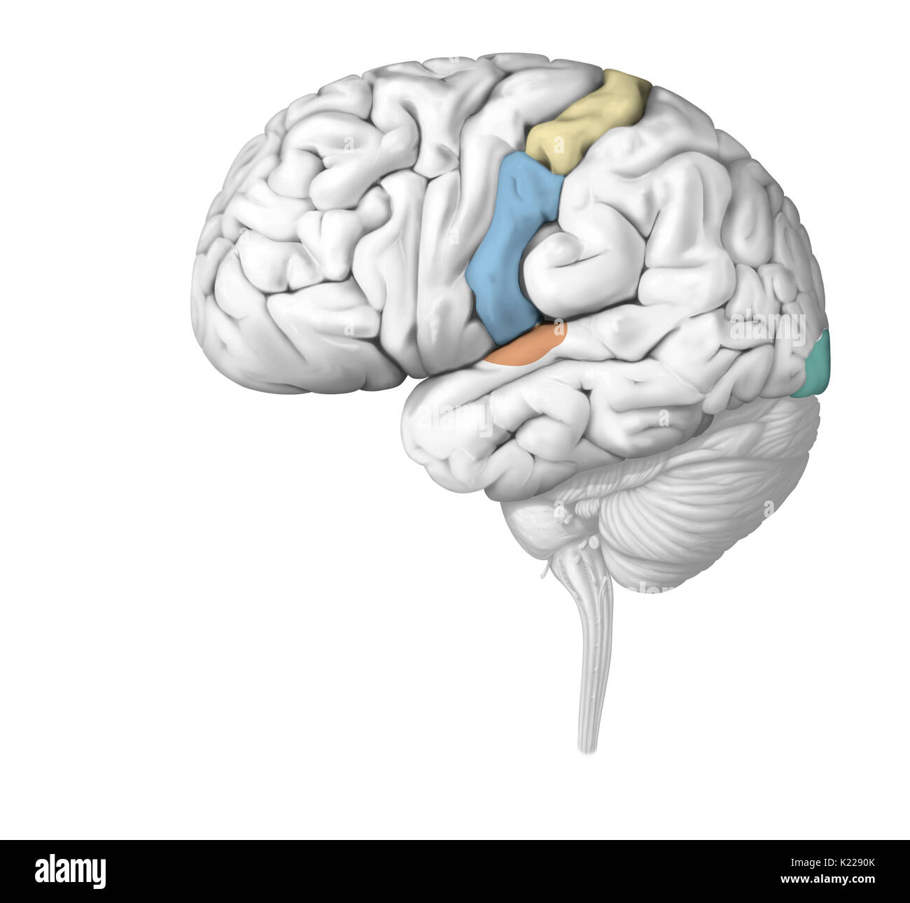 The nerve impulses are analyzed in the zones of the brain specific to each sense. Injury of a sensory organ can seriously affect its operation. - Stock Image