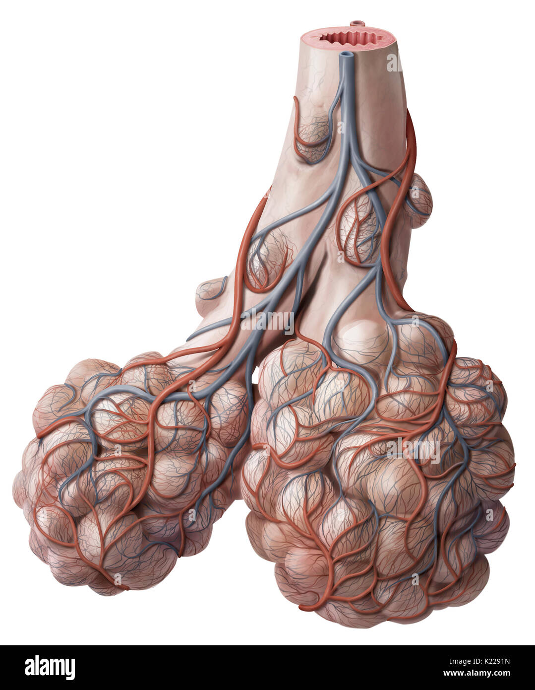 The bronchioles are the narrowest subdivisions of the bronchial tree ...