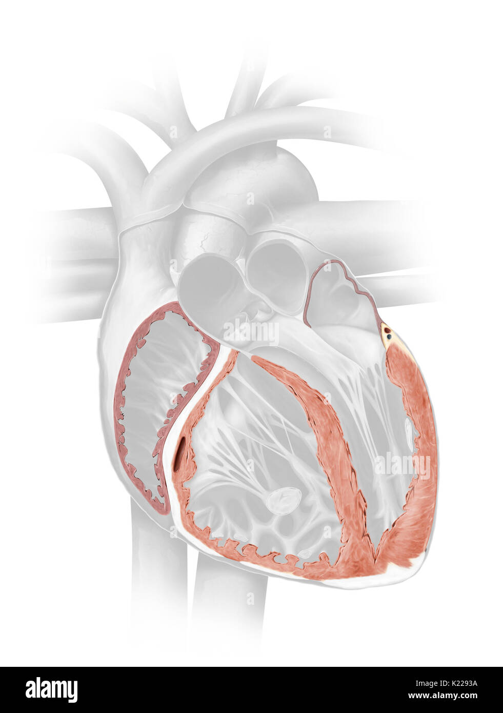 The myocardium consists of muscular fibers that form the thickest layer of the cardiac wall. - Stock Image