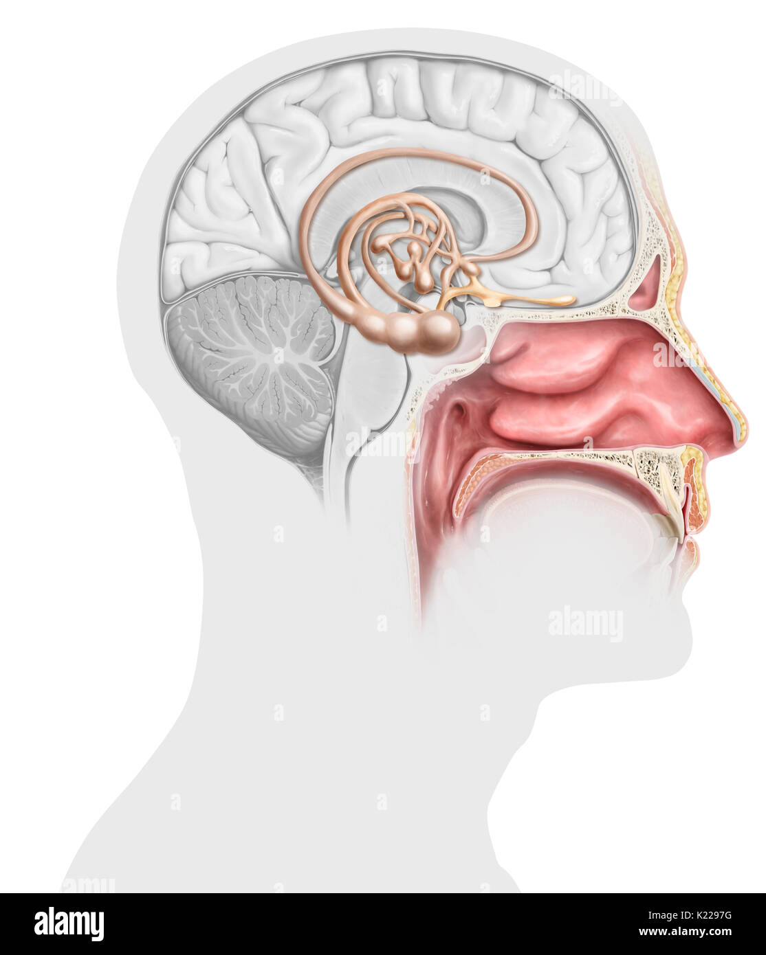Each nasal cavity encloses an olfactory epithelium, whose stimulation by odorous molecules generates nerve signals. These are routed to the brain, where the odors are analyzed and associated with emotions and memories. - Stock Image