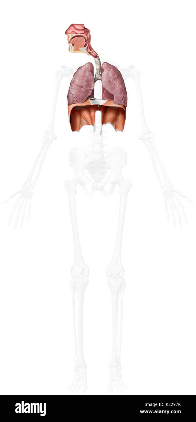This image shows the upper and lower oragans of the respiratory system. - Stock Image