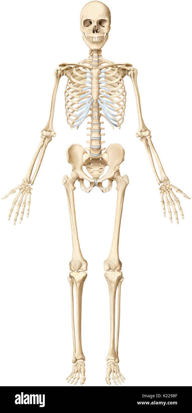 The Human Skeleton Is Made Up Of 206 Articulated Bones Of Varying