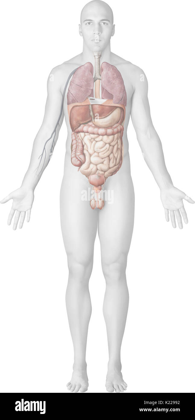 The entry of an infectious agent into the body can take place through the skin, following, for example, a cut, a bite, an open fracture, or a burn. However, it most often takes place through the mucous membranes, since they cover the digestive, respiratory and urogenital tracts. - Stock Image