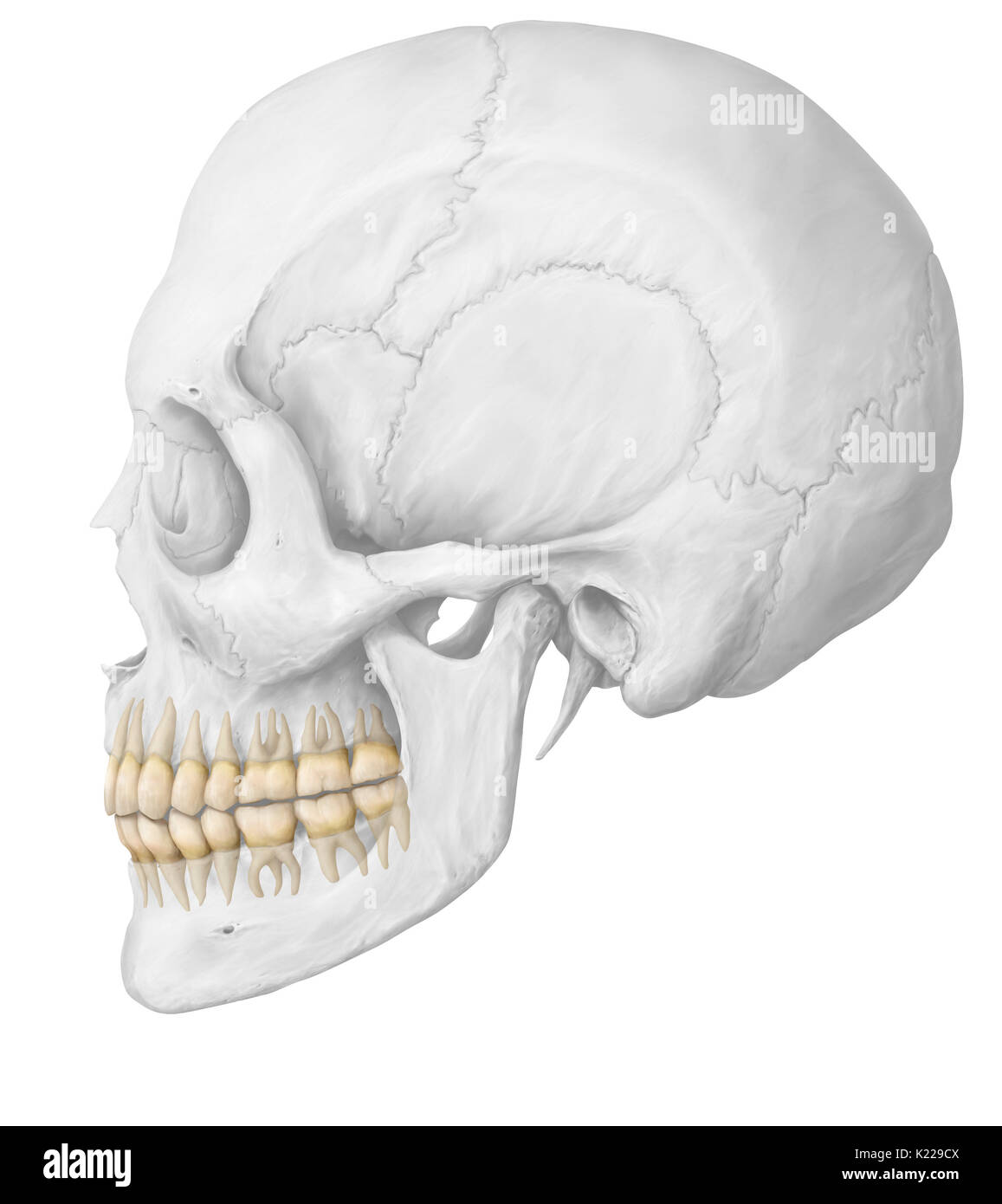 Wisdom teeth are the third molars. They rarely appear before 18 years of age and may even only partially appear or never appear at all. - Stock Image