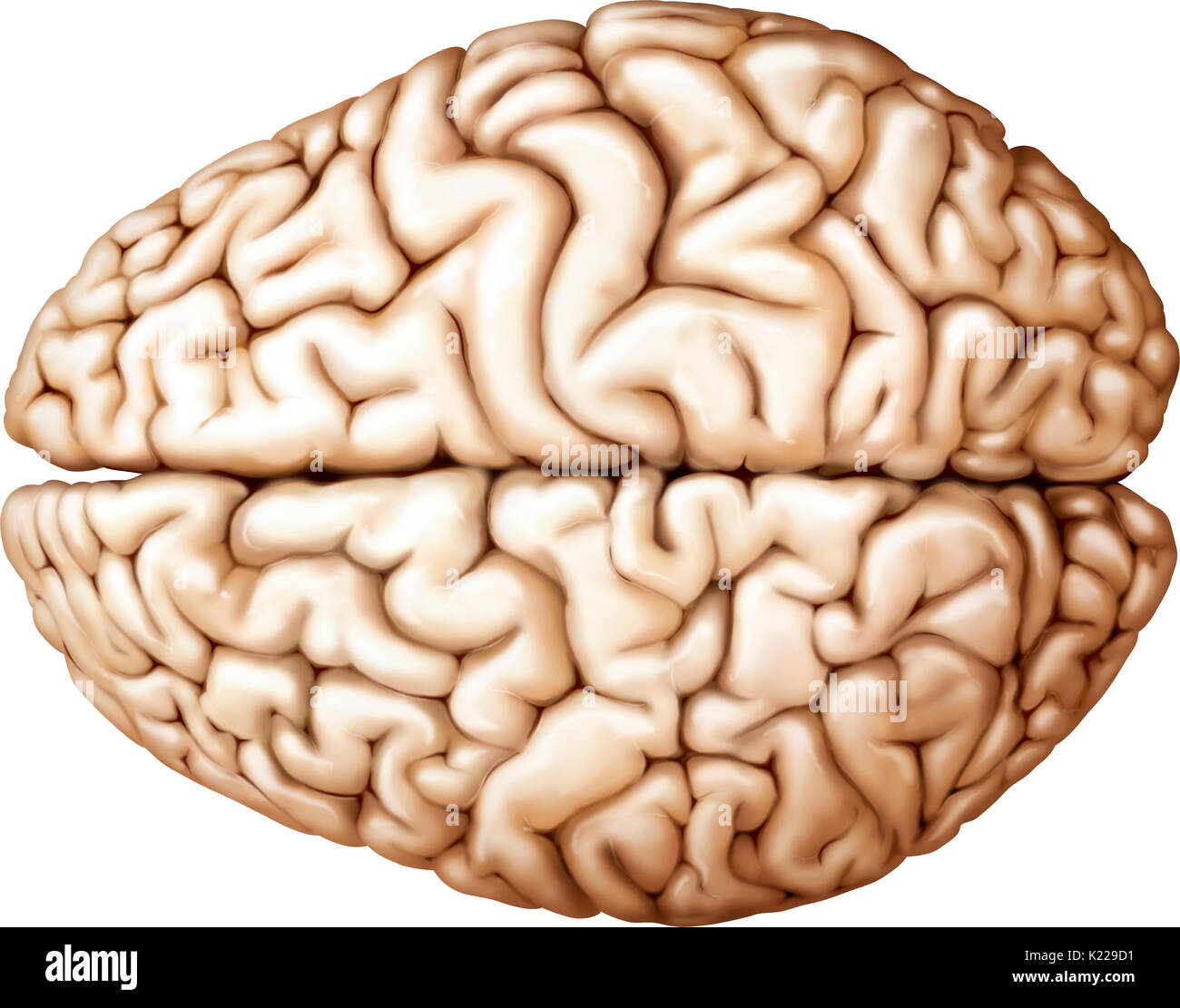 The cerebrum is the most voluminous and most complex part of the brain. It is made up of two hemispheres subdivided into four cerebral lobes, which cover the diencephalon. The most complex functions are completed by the exterior layer of the brain, the cerebral cortex. - Stock Image