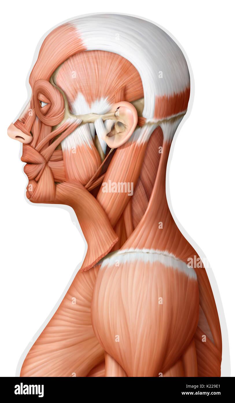 Human Head And Neck Anatomy Stock Photos Human Head And Neck