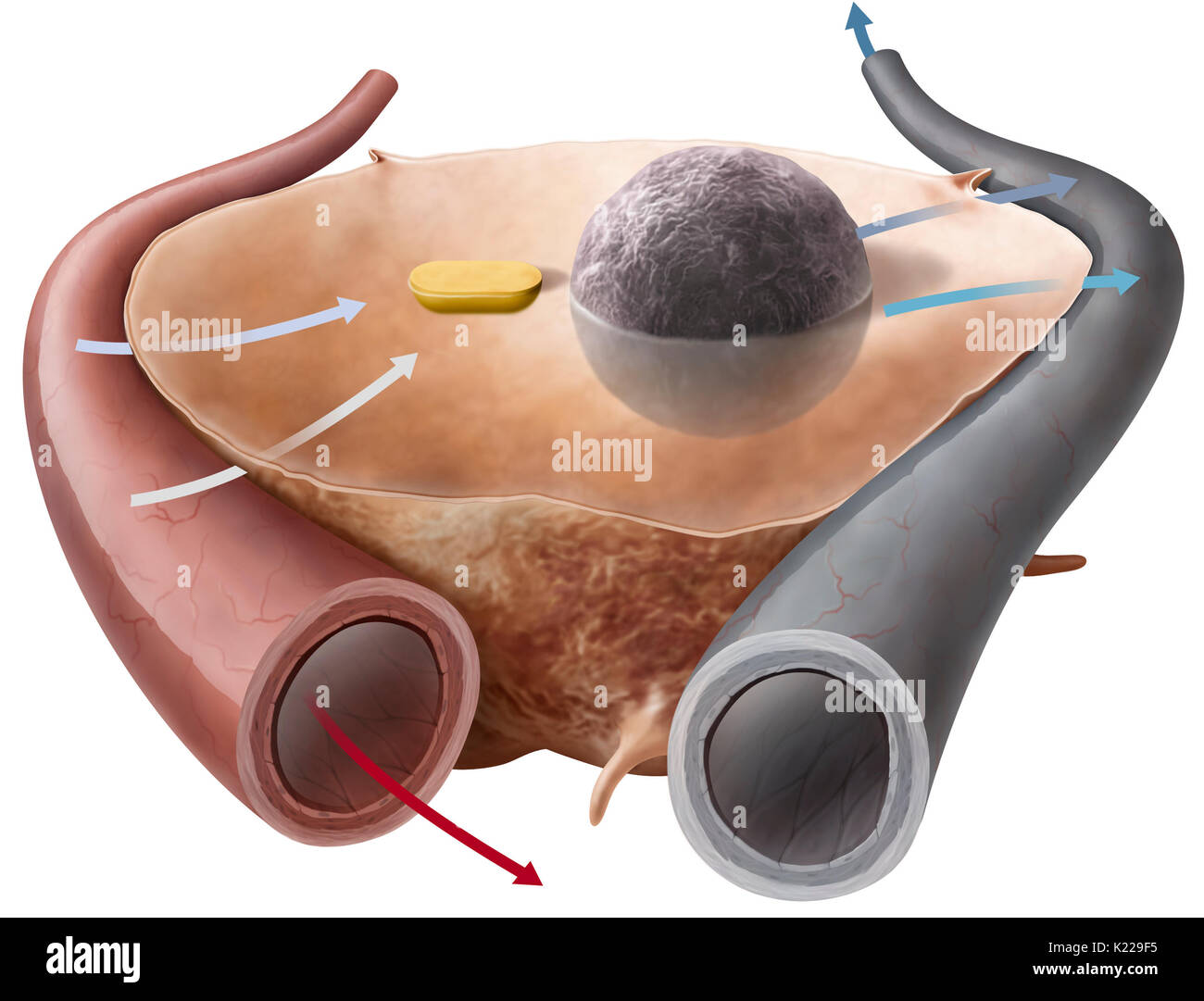 Metabolism is the collection of biochemical reactions that occur in the cells and ensure the functioning of the body. It uses the nutrients provided during digestion and the oxygen supplied by respiration. - Stock Image