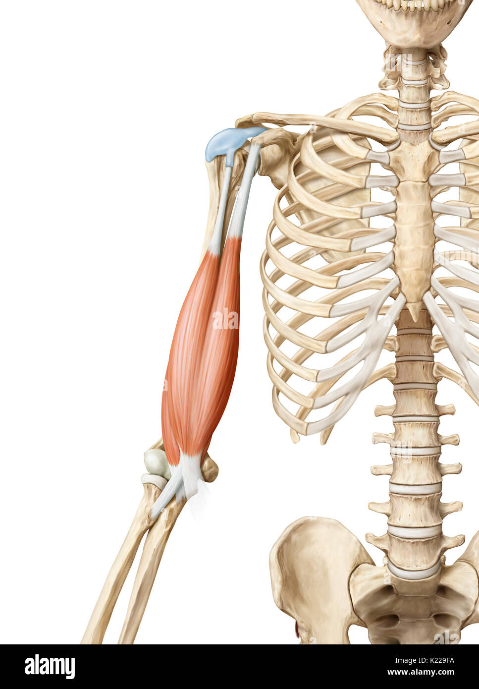 Triceps Muscle Stock Photos & Triceps Muscle Stock Images - Alamy