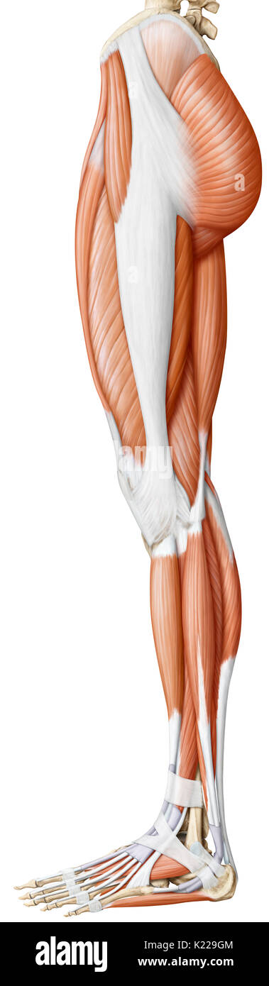 This image shows a lateral view of the muscles of the lower body. - Stock Image