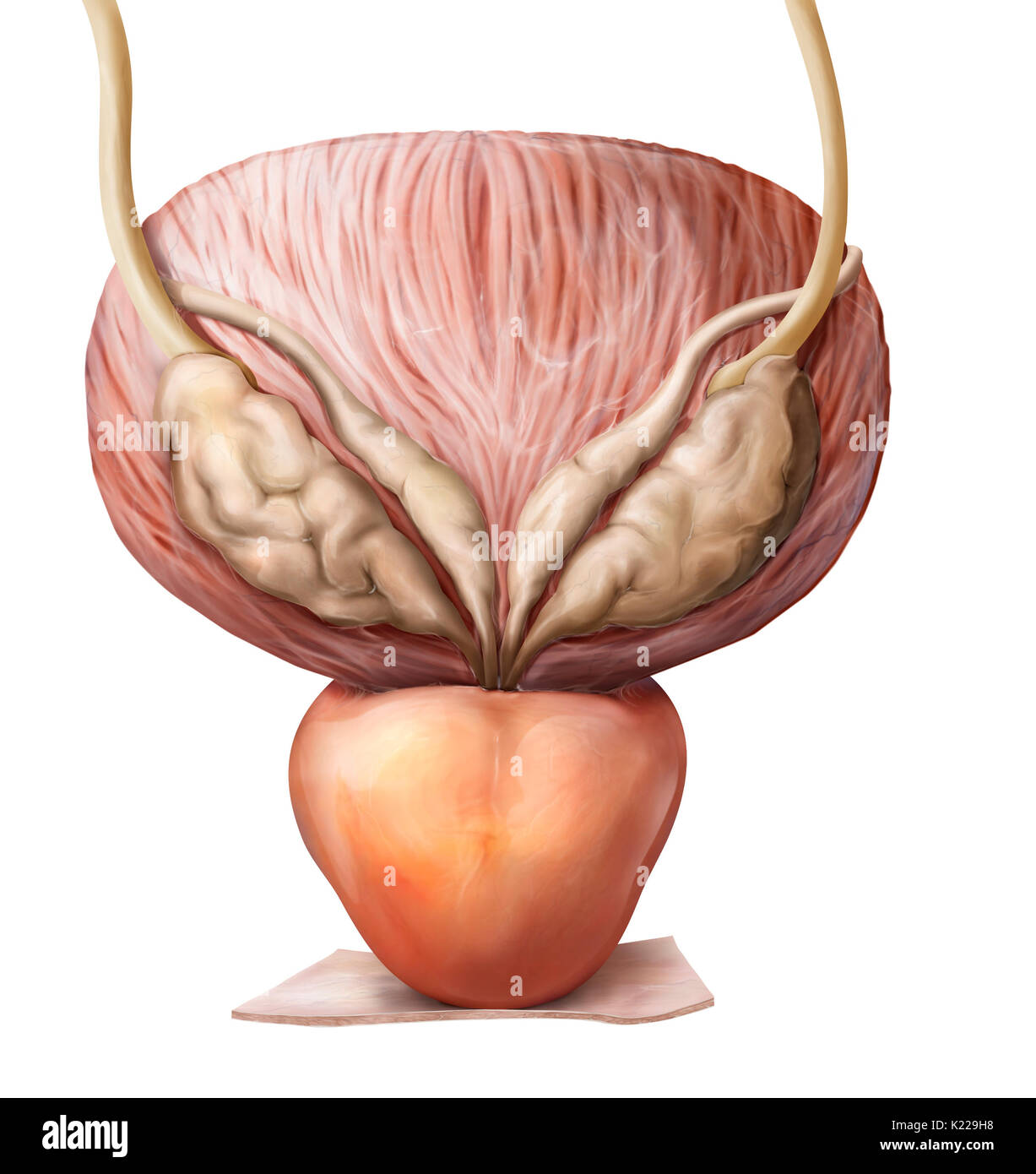 This image shows the urinary bladder, the ureter and the prostate. - Stock Image