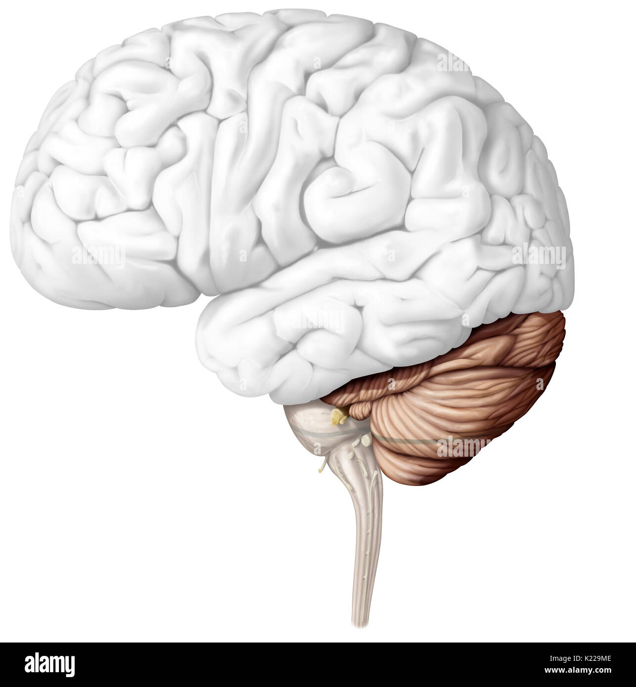 the cerebellum is the part of the brain located under the cerebrum