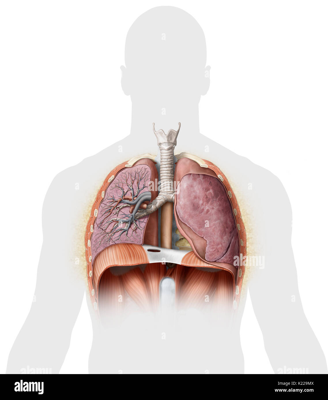 Cross section of the lower organs of the respiratory system stock this image shows a cross section of the lungs which reveals the main bronchus ccuart Gallery