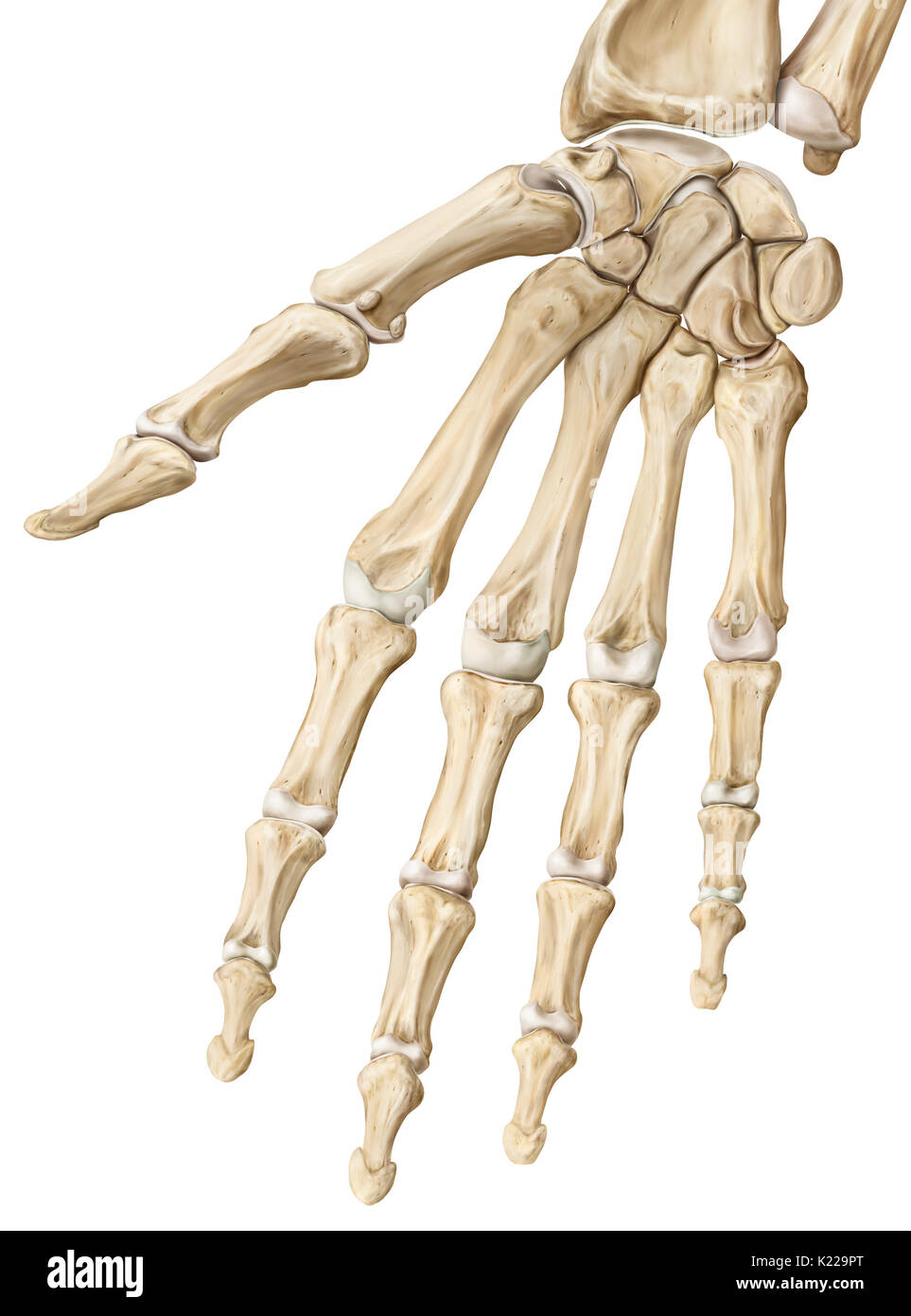 The interphalangeal joints are synovial joints that link the Stock ...