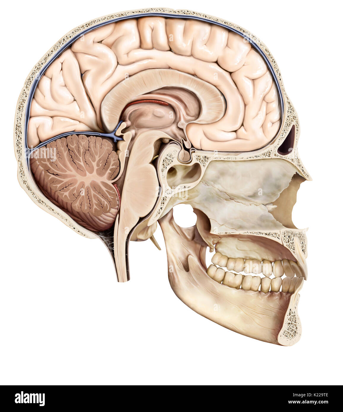 Part of the central nervous system enclosed in the skull, consisting of the cerebrum, cerebellum and brain stem; it is responsible for sensory perception, most movements, memory, language, reflexes and vital functions. - Stock Image