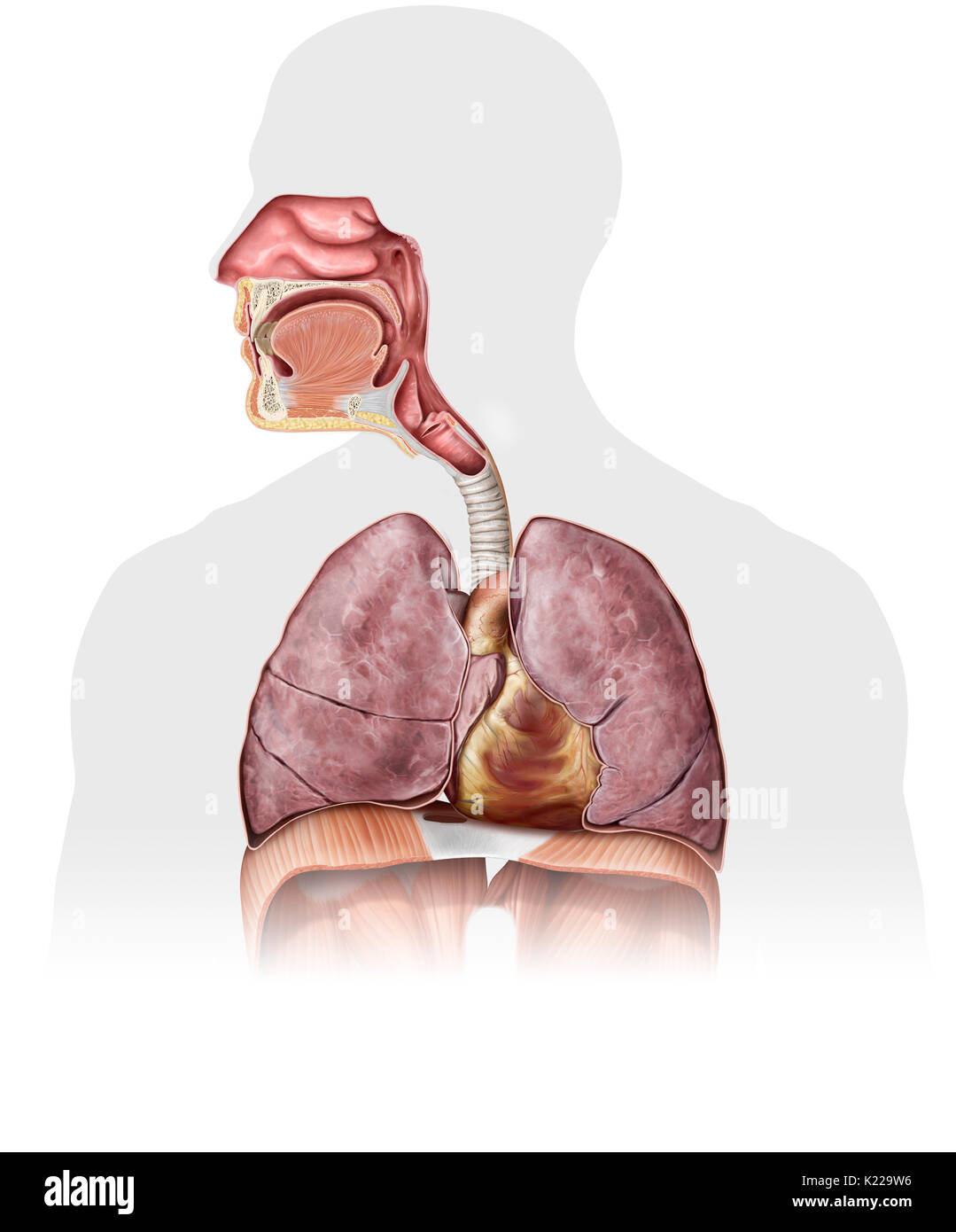 This image shows the nasal cavity, the epiglottis, the mouth, the pharynx, the larynx, the trachea, the heart, the lungs, the trachea and the diaphragm. - Stock Image