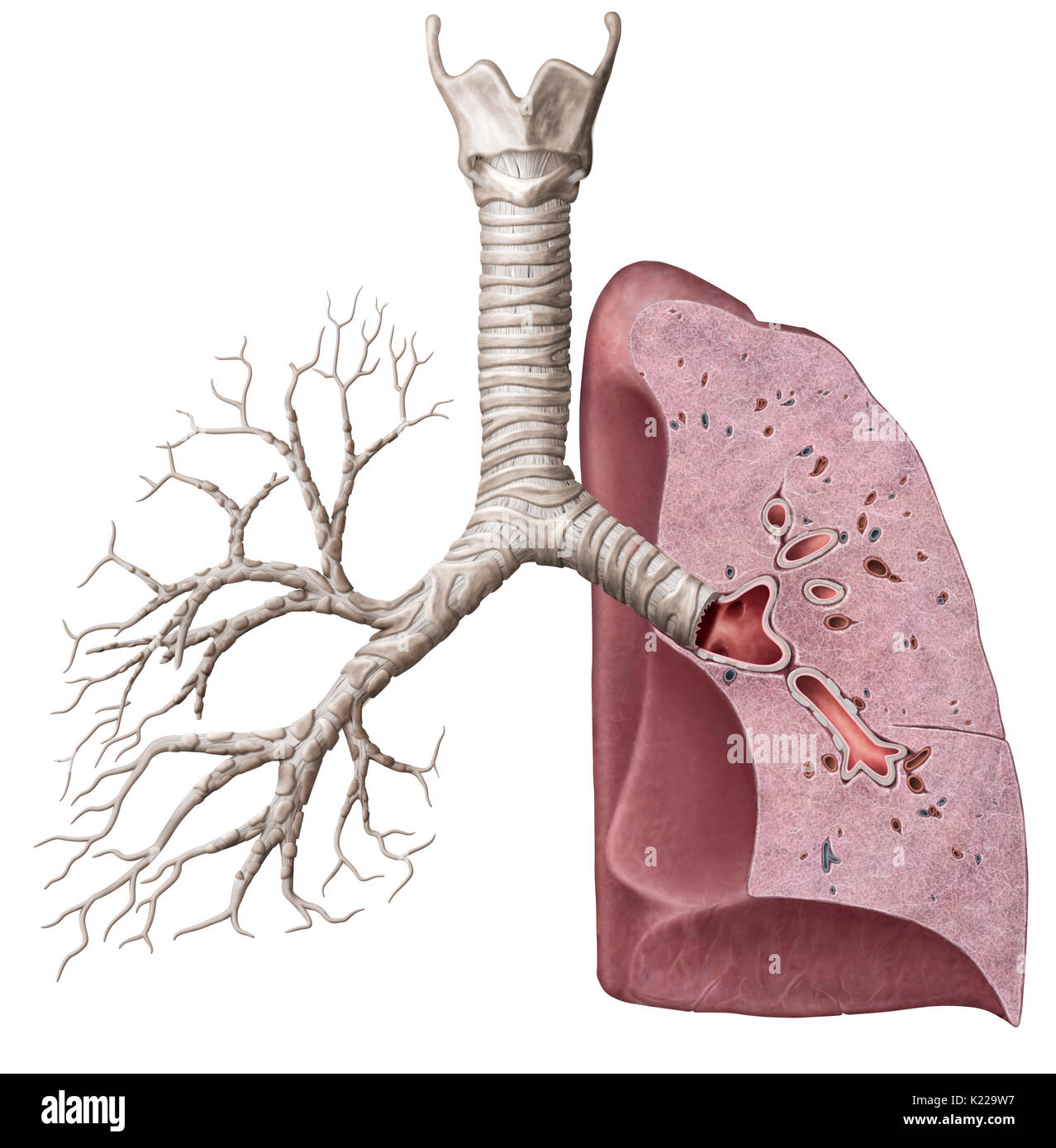 Lower organs of the respiratory system stock photos lower organs this image shows a cross section of the lungs which reveals the main bronchus ccuart Gallery