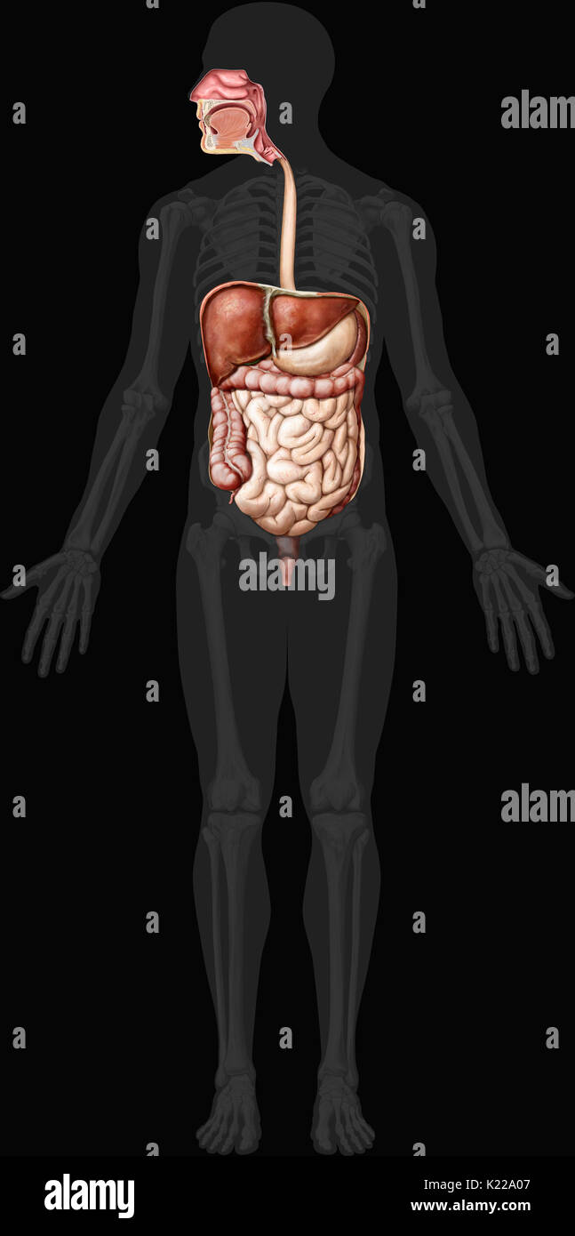 Digestive System Anterior View Stock Photos & Digestive System ...