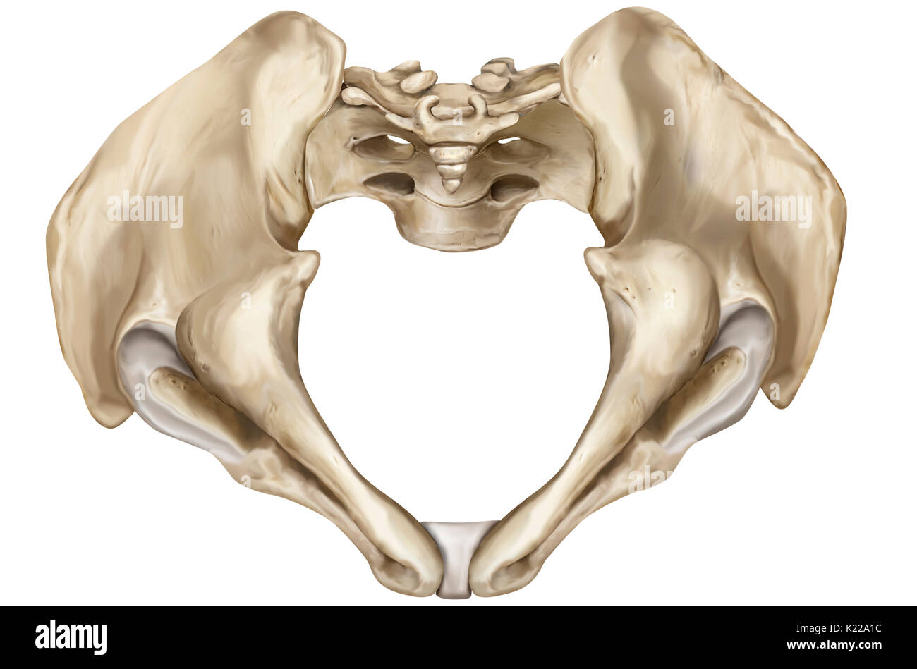 Bony girdle consisting of the sacrum, coccyx and two iliac bones, joining the bones of the lower limbs to the axial skeleton. - Stock Image