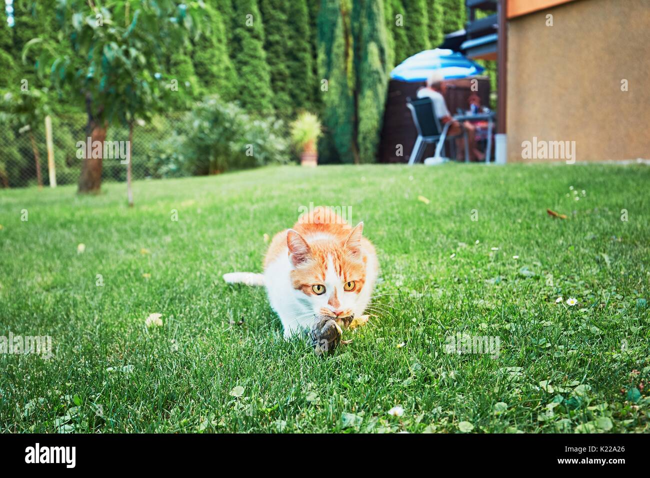 Ginger cat catch a bird on the garden of the family house. - Stock Image