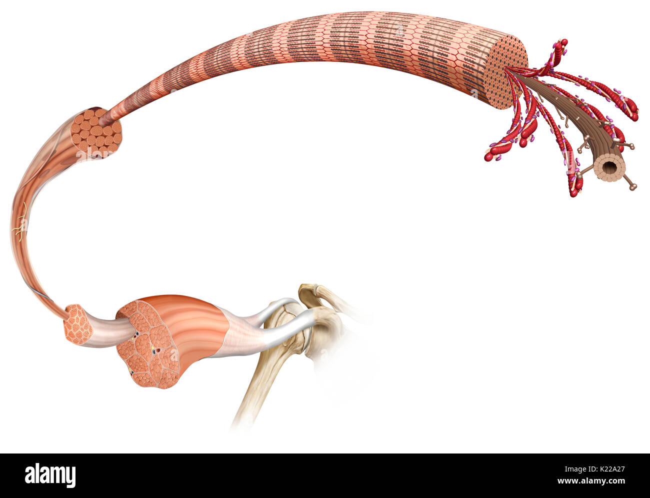 This image shows the structure of a skeletal muscle, revealing the muscle fibers bundle, the motor neuron, the muscle fiber and the myofibril. - Stock Image