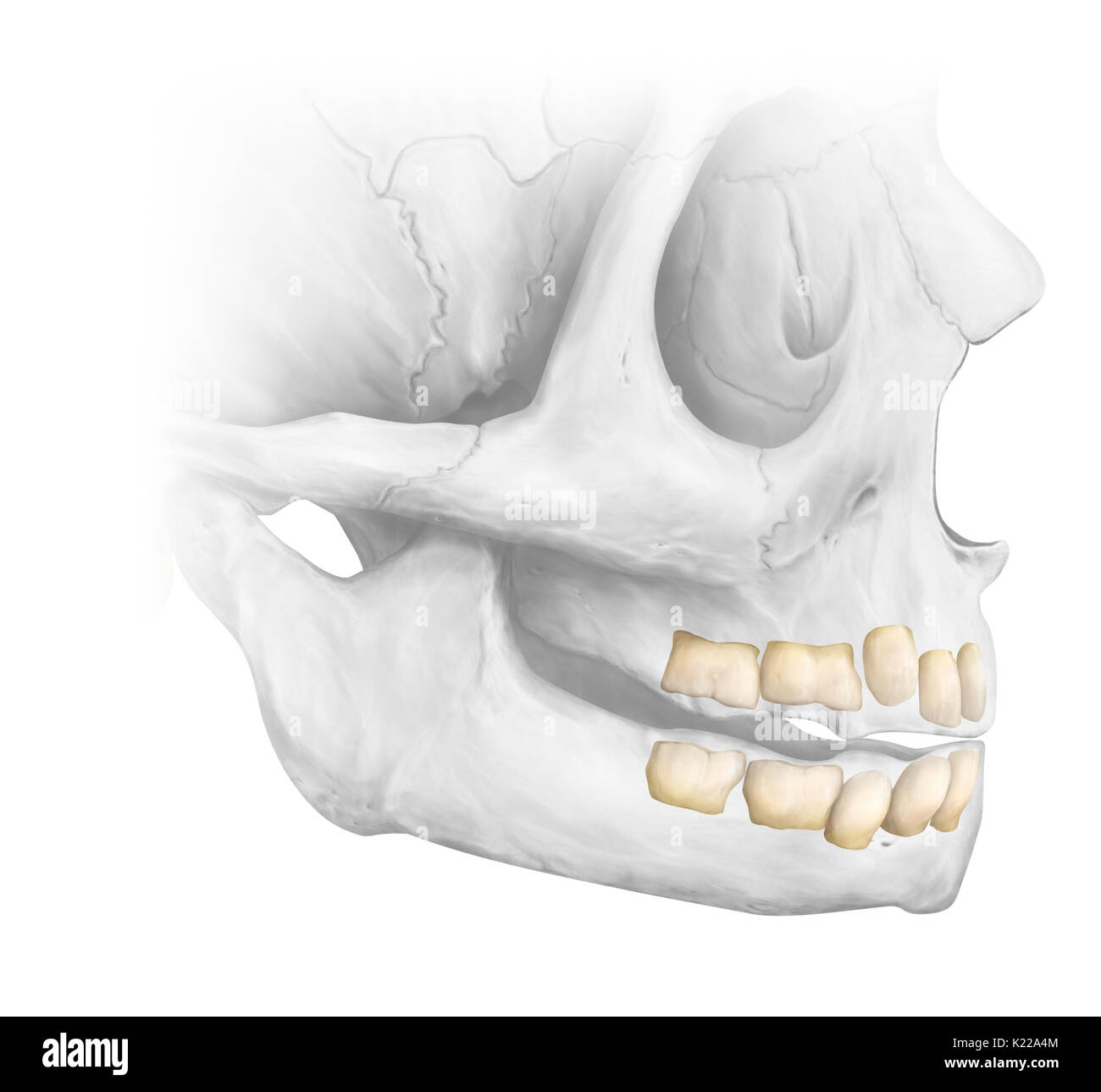 Until approximately the age of 6, the dentition has 20 temporary teeth. The complete adult dentition has 32 teeth: 8 incisors, 4 canines, 8 premolars, and 12 molars. The last molars, called wisdom teeth, are sometimes absent or poorly positioned. - Stock Image