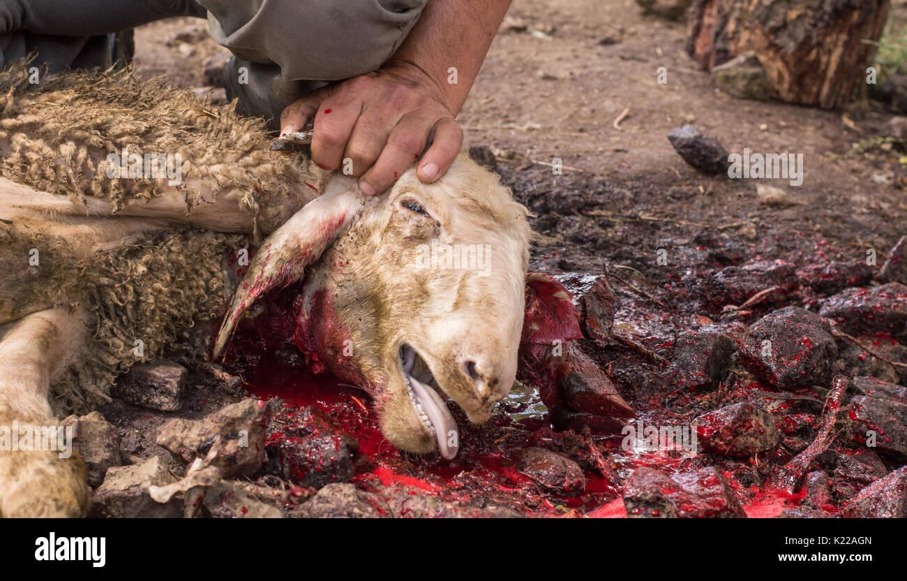 Muslim butcher man cutting a sheep for Eid Al-Adha. Eid al-Adha (Sacrifice Feast) is the second of two Muslim holidays celebrated worldwide each year. - Stock Image