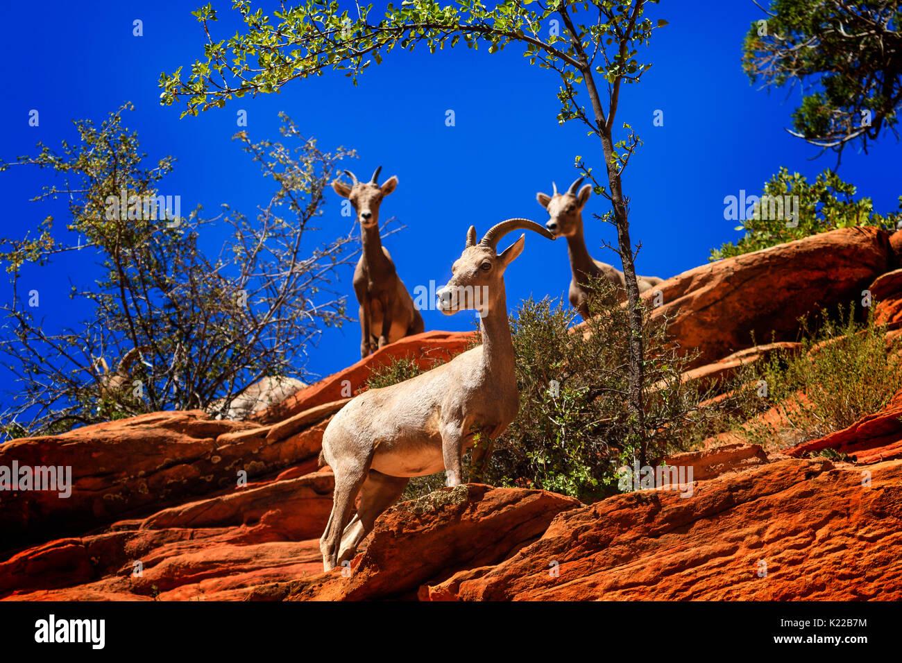 Zion National Park Desert Sheep - Stock Image