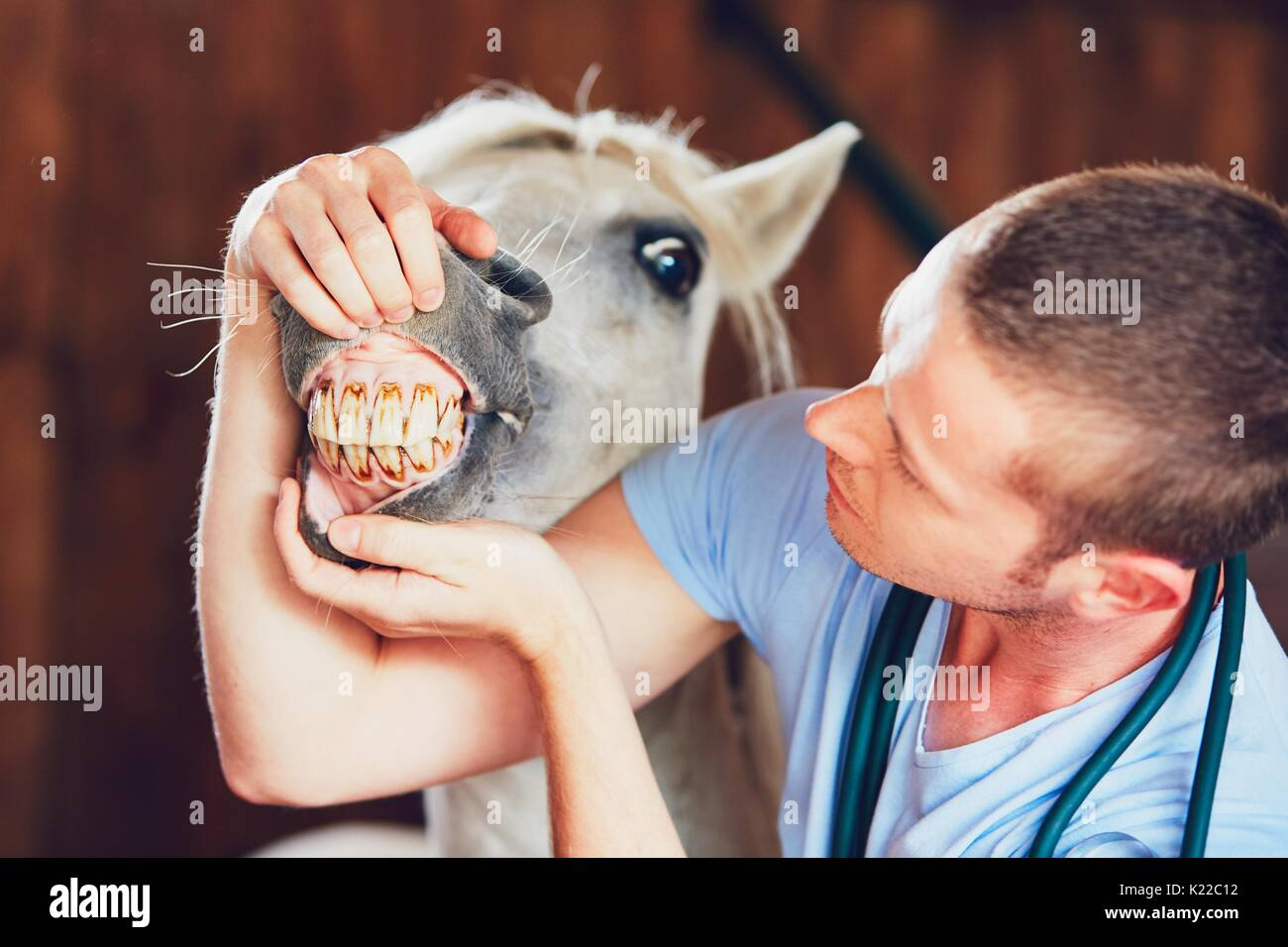 Veterinary medicine at farm. Veterinarian examining teeth of the horse in the stable. - Stock Image
