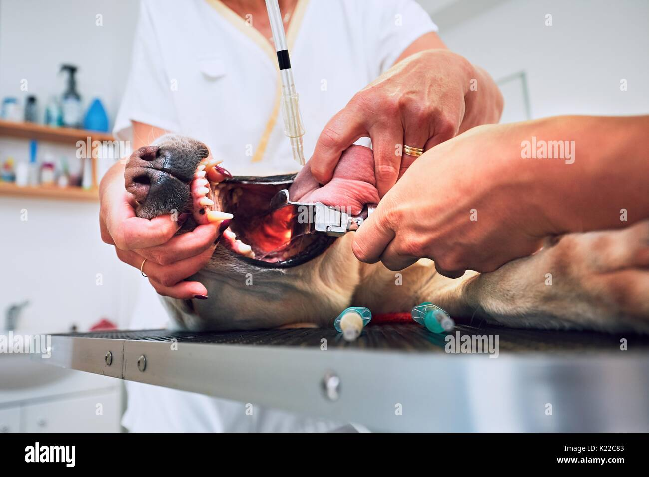 Veterinarian and nurse intubate the diseased dog prior to tumor surgery. - Stock Image