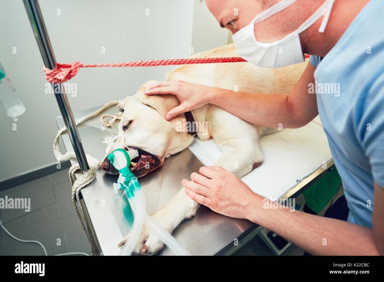Old labrador retriever in animal hospital. Veterinarian is preparing for a dog surgery. - Stock Image