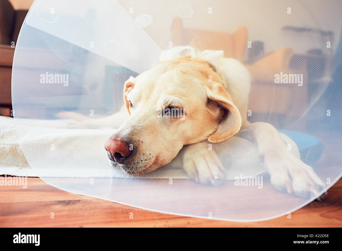 Old dog after surgery. Labrador retriever wearing medical protective collar is lying at home. - Stock Image