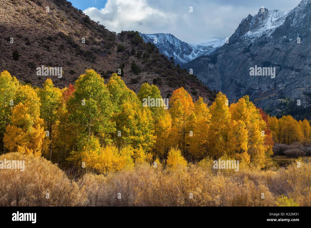 Aspen trees in their fall foliage, Eastern Sierra Nevada Mountains, California. - Stock Image