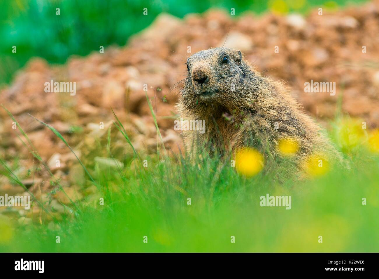 Gaver,Bagolino,Lombardy,Italy Portrait of a marmot sitting tripped in the plain of Gaver - Stock Image