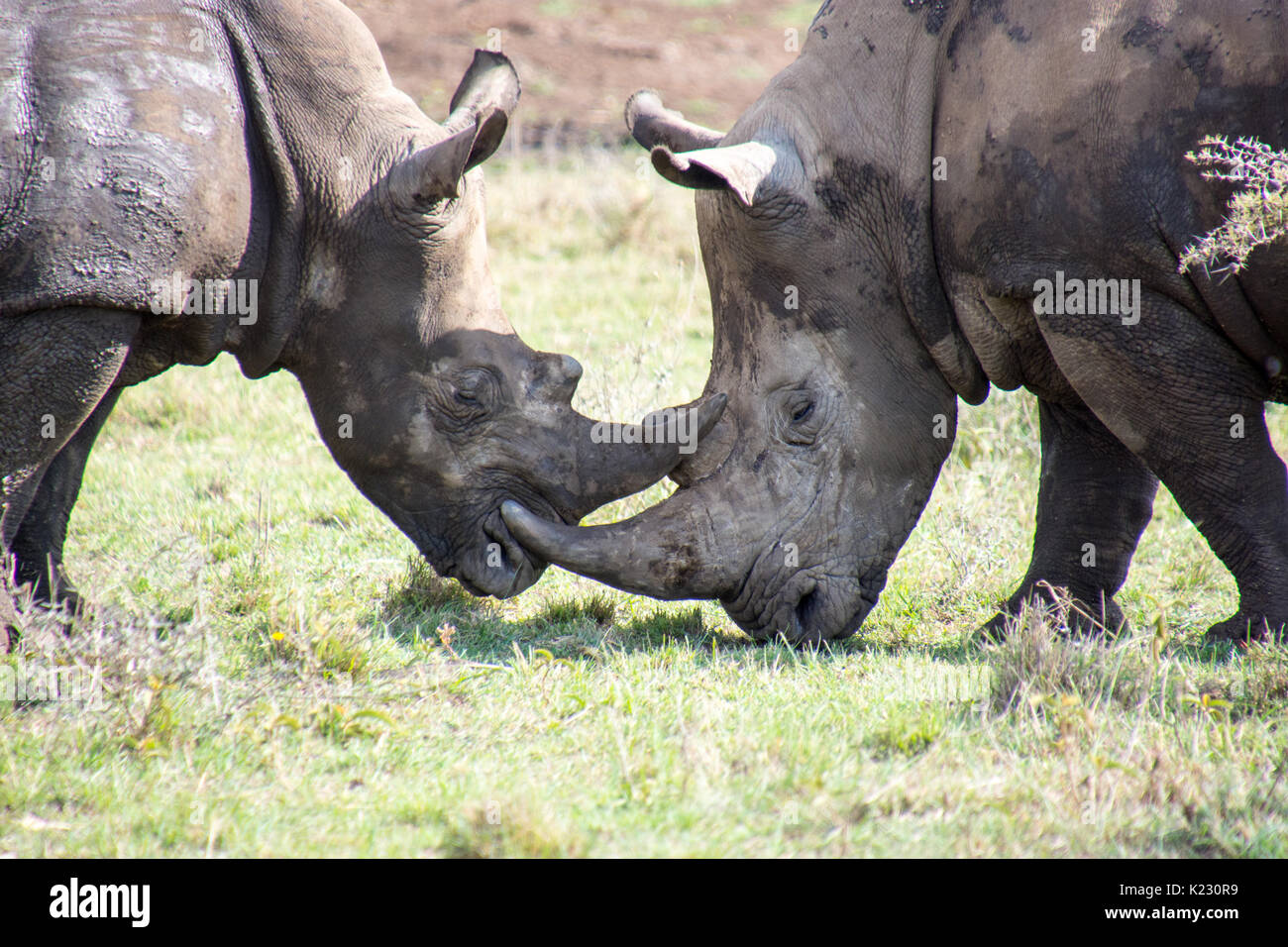 Fighting Rhinos - Stock Image