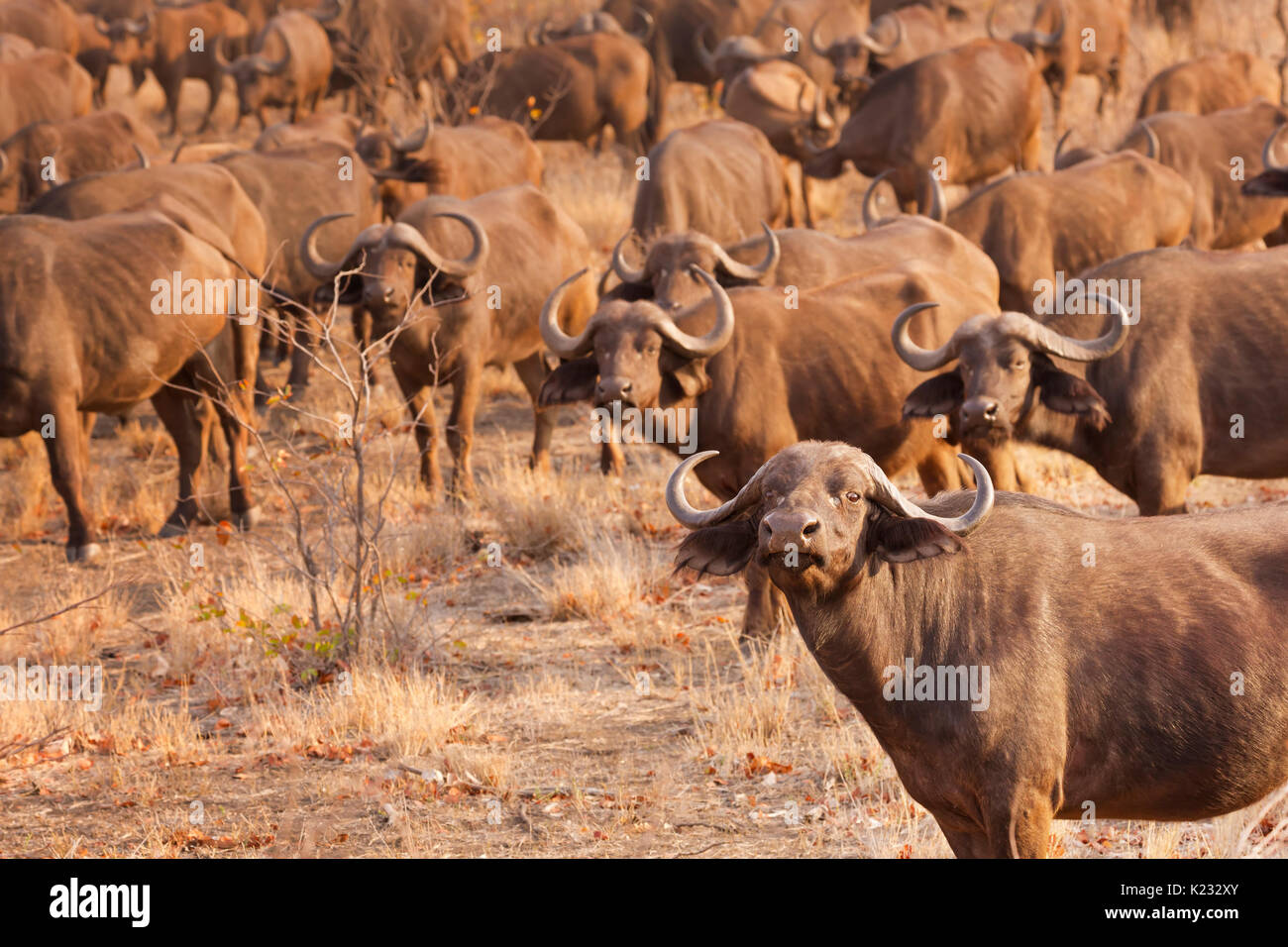 A herd of buffaloes in Kruger National Park in South Africa in early morning sunlight. - Stock Image