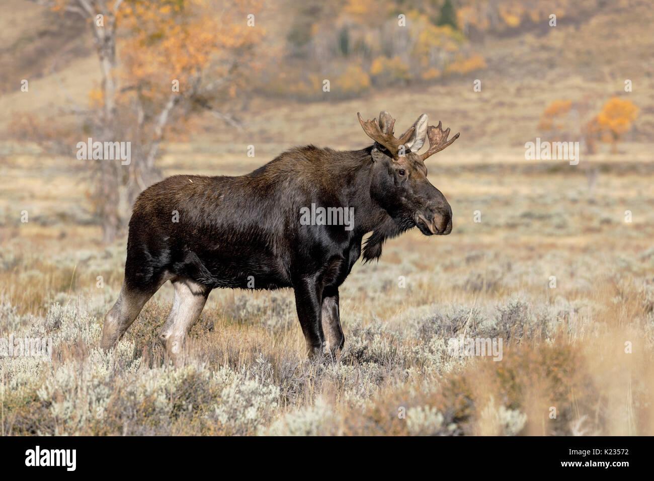 Bull Moose - Stock Image