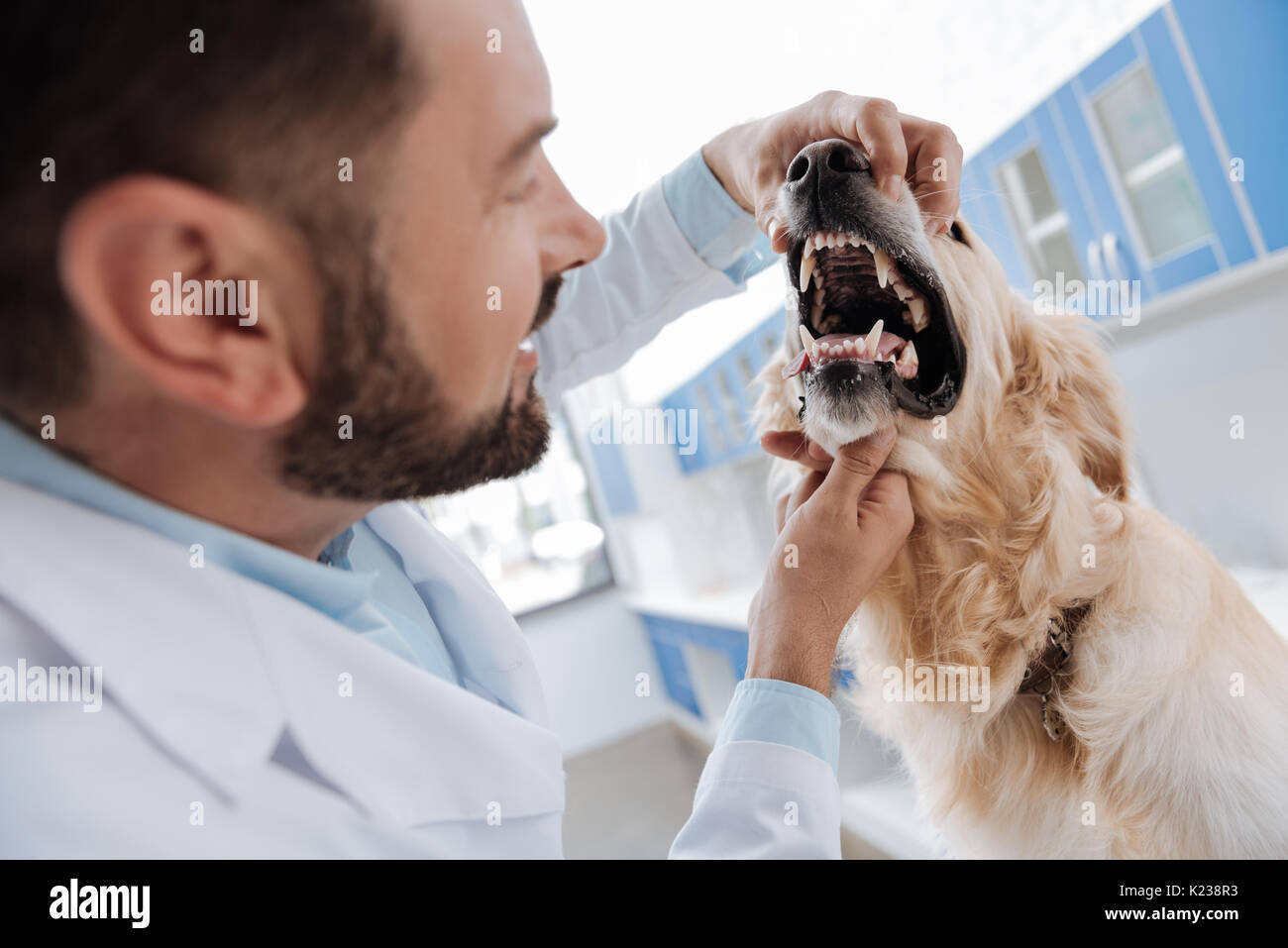 Close up of male hands that opening dogs snout - Stock Image