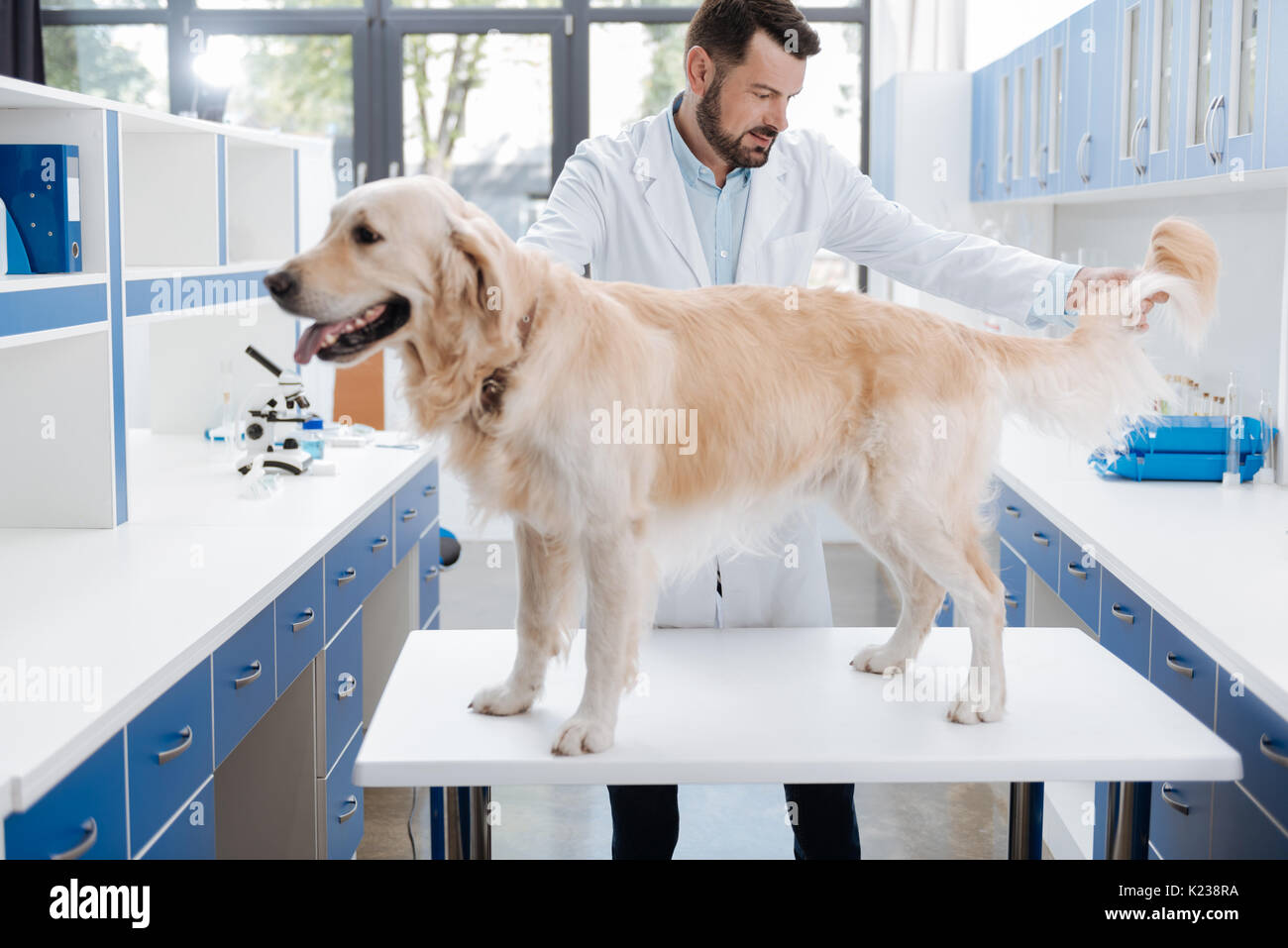 Competent vet checking hair of big dog - Stock Image