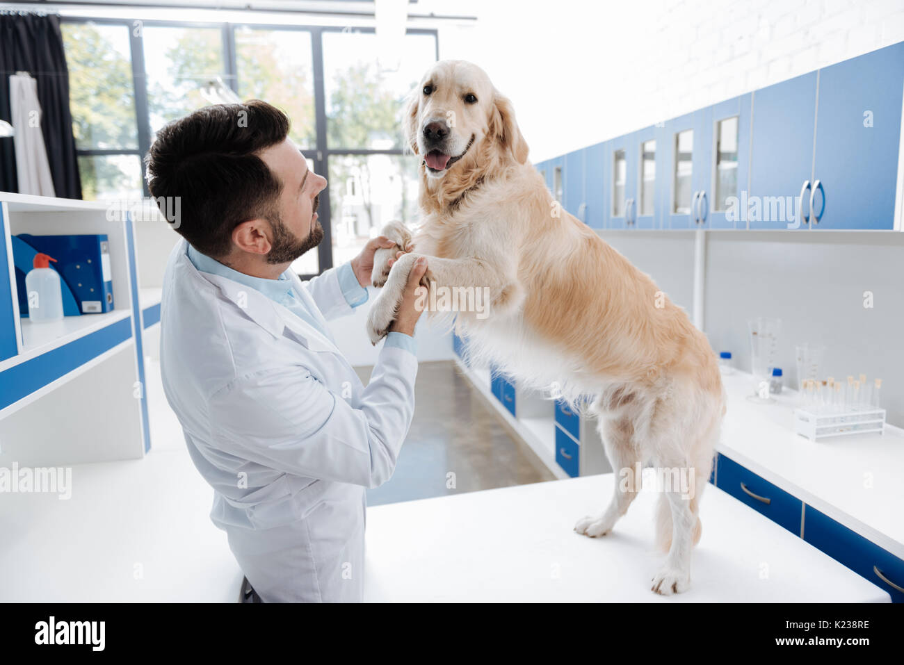 Docile Labrador standing on hind paws - Stock Image
