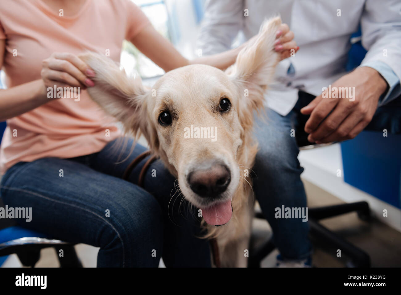 Close up of female hands that raising dogs ears - Stock Image