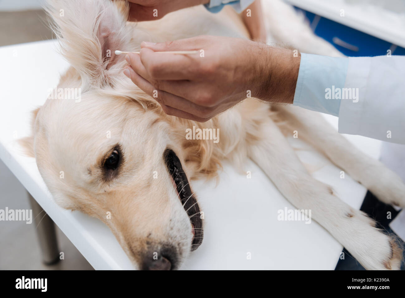 Close up of male hand that cleaning ears of sick dog - Stock Image