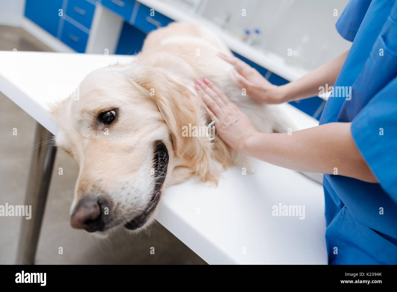 Close up of worried dog that preparing for examination - Stock Image