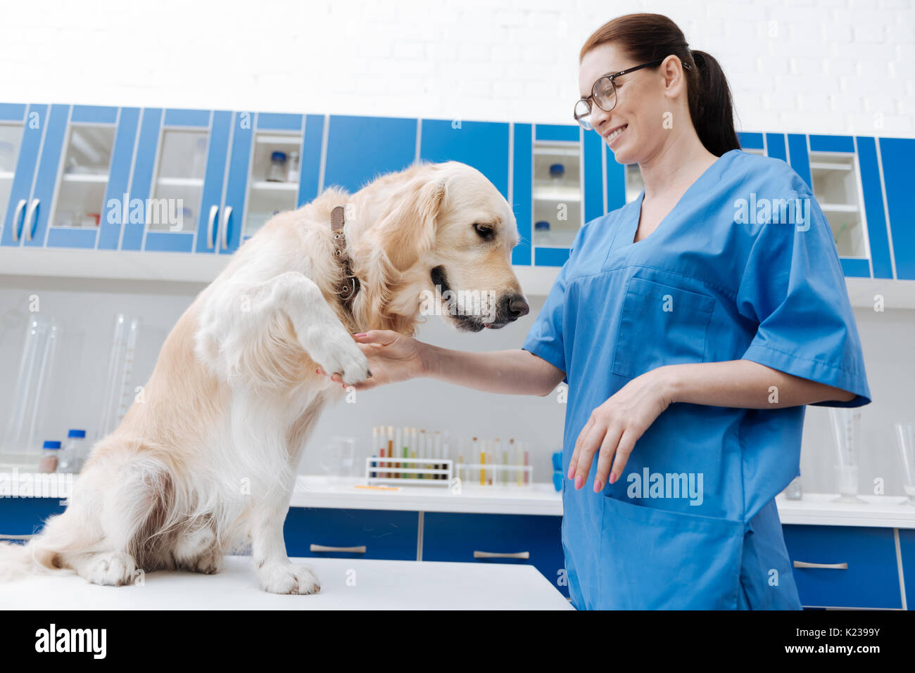 Attentive Labrador giving his paw to doctor - Stock Image
