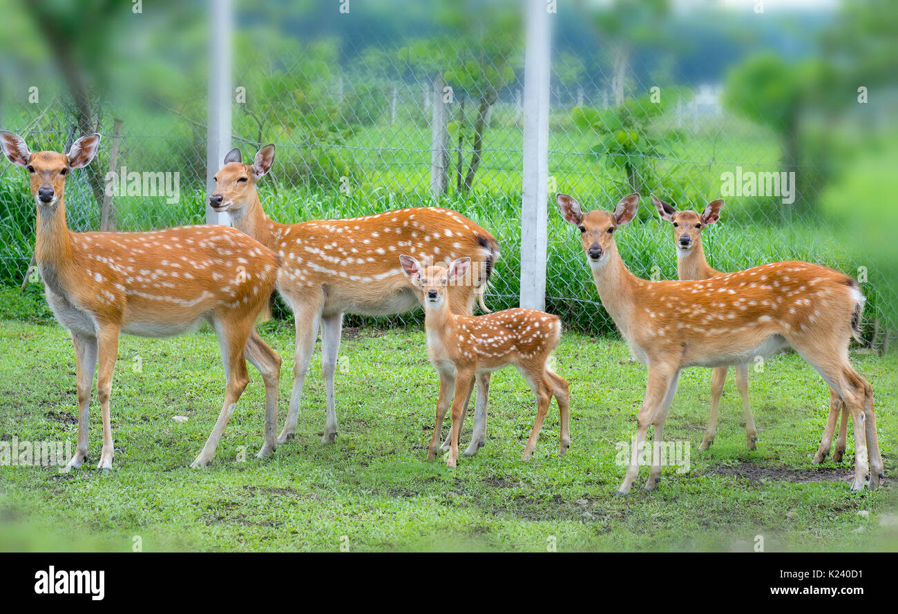 Deer grazing on a farm in the countryside, this is the animal that needs to be preserved in nature Stock Photo