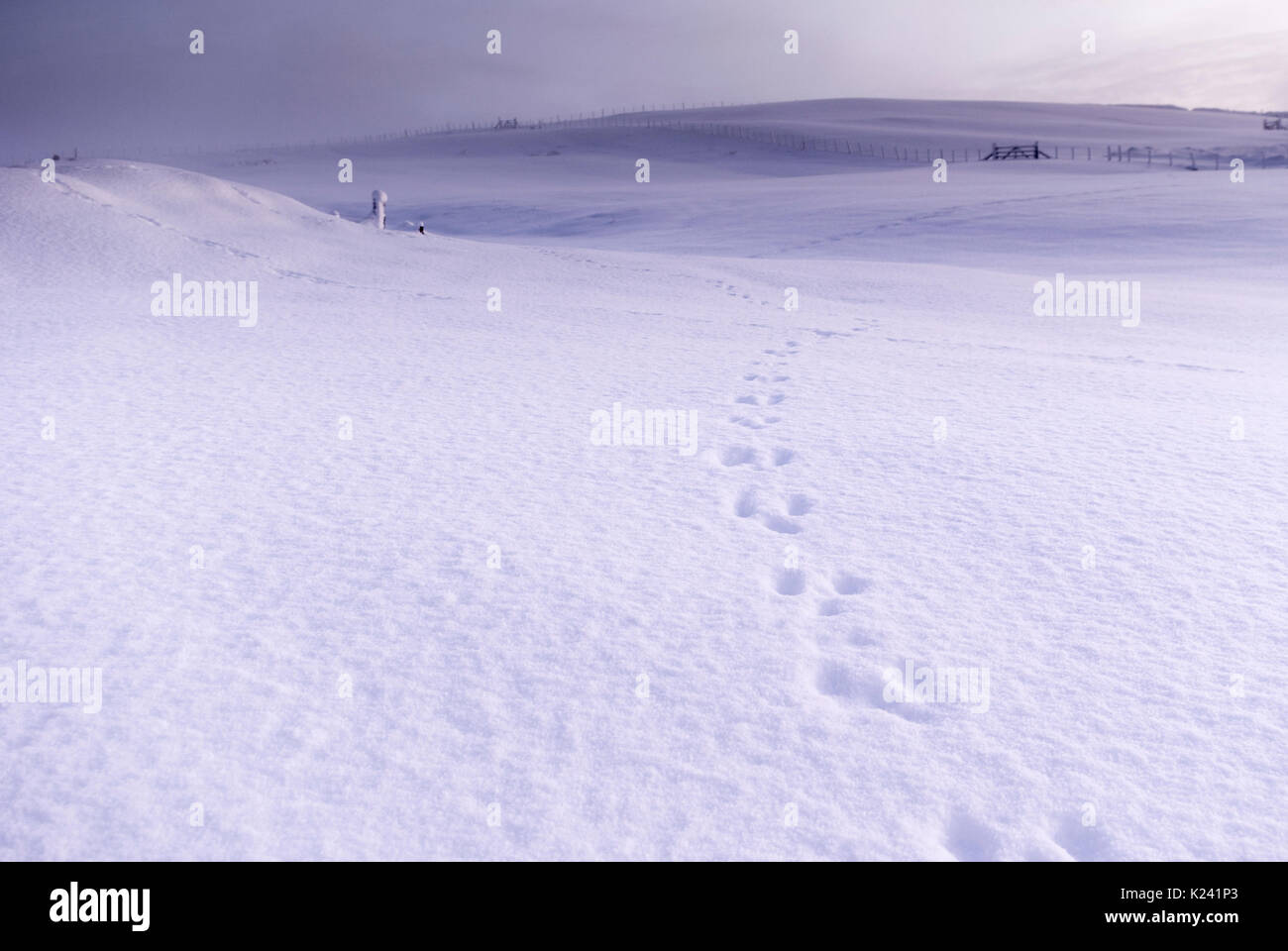 Rural countryside landscape with rabbit tracks in thick snow on a winters day, Rogart, Sutherland, Highlands, Scotland, Stock Photo
