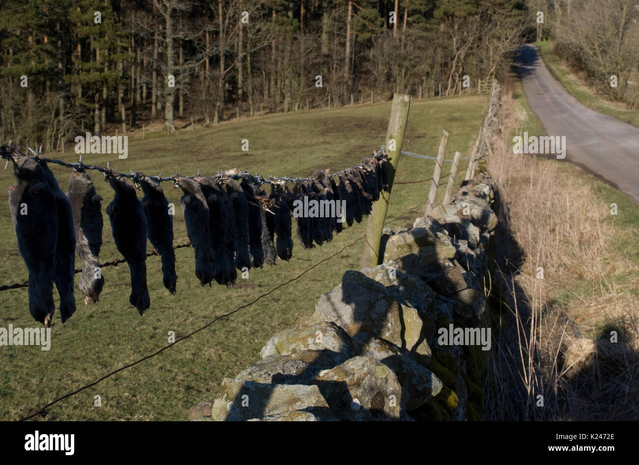 Carcasses of dead moles as mole catchers trophies strung out along a barbed wire fence at the edge of a field in Stock Photo