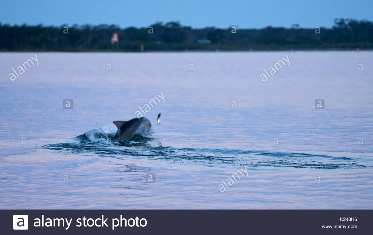 A dolphin chasing mullet at dusk; in the Clarence River at Goodwood Island, NSW, Australia. - Stock Image