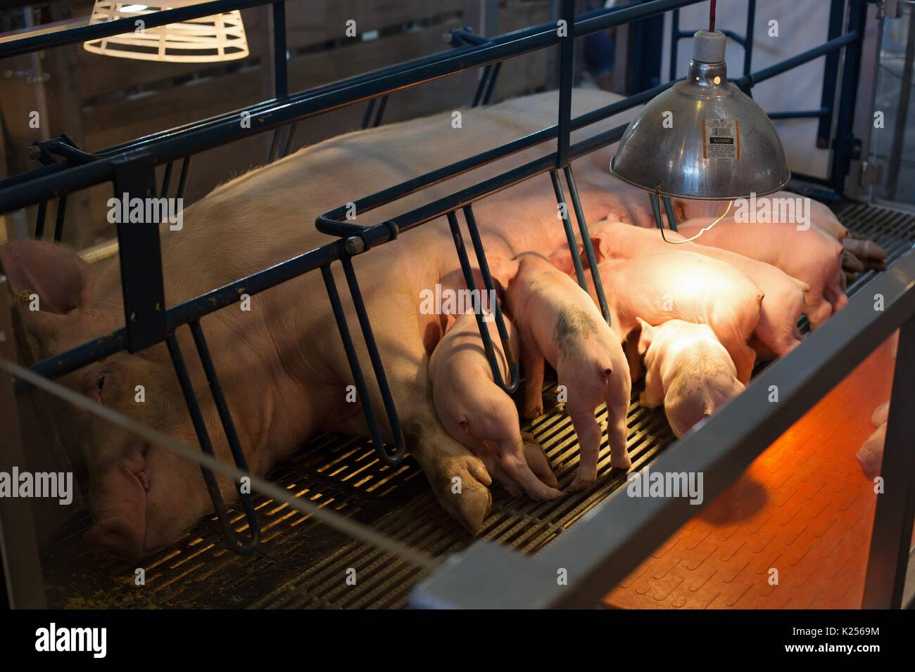 A pig and piglets in a gestation crate. - Stock Image